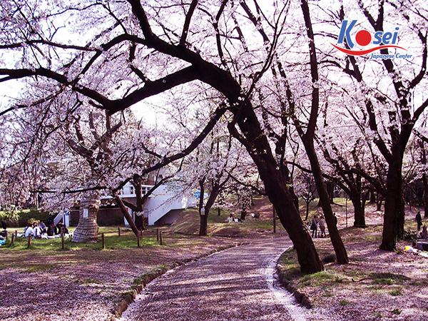 lịch ngắm hoa anh đào ở Công viên Yoyogi