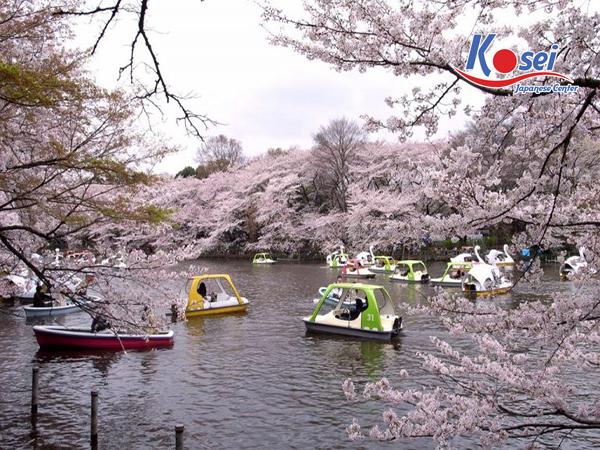 lịch ngắm hoa anh đào ở Công viên Inokashira