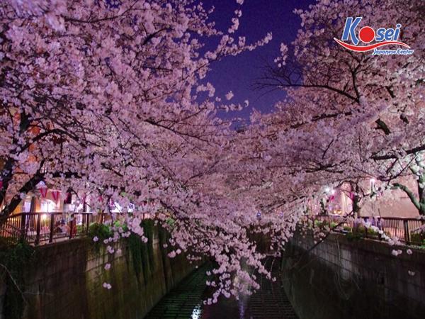 lịch ngắm hoa anh đào ở Sông Meguro