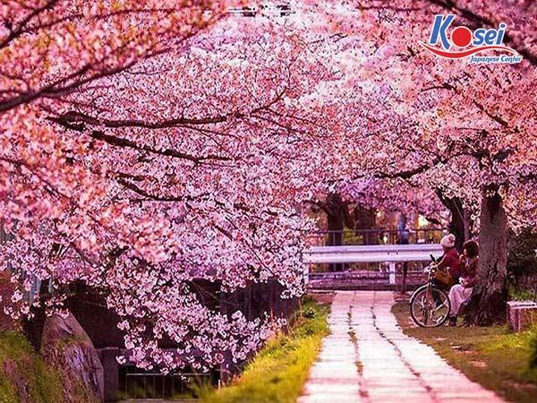 https://kosei.vn/den-ngay-kawazu-dia-diem-ngam-hoa-anh-dao-o-nhat-no-som-nhat-n2746.html