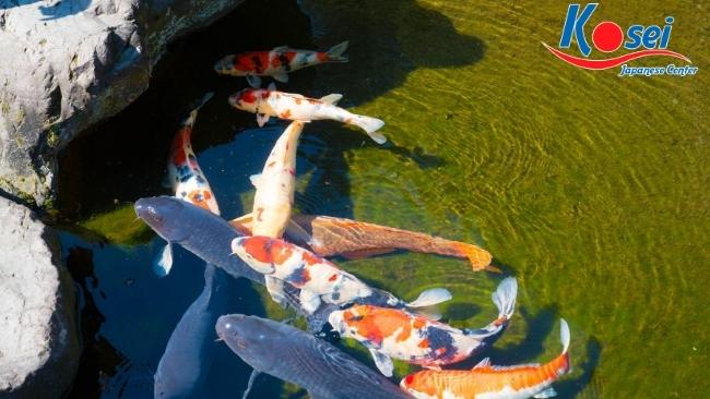 Linh vật truyền thống Nhật Bản cá chép Koi